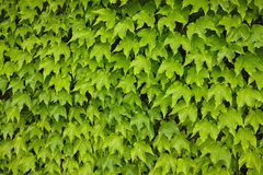 Murgrönabakgrund Arkivfoto