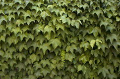 Murgrönabakgrund arkivfoton