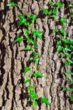 Murgrönadet vanliga eller murgrönaklättring (lat. Hederaspiral) royaltyfria bilder