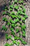Murgrönadet vanliga eller murgrönaklättring (lat. Hederaspiral) på stammen av trädet arkivfoto