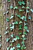 Murgrönadet vanliga eller murgrönaklättring (lat. Hederaspiral) till stammen av trädet royaltyfri fotografi