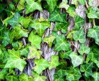 Murgrönaen lämnar Arkivfoton
