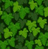 Murgrönaen lämnar Royaltyfri Fotografi