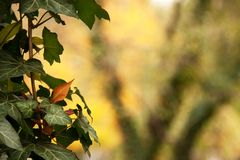 Murgrönaen lämnar Royaltyfria Bilder
