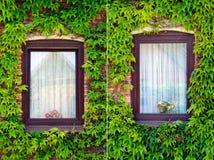 murgrönaen ställde in två fönster Royaltyfri Fotografi