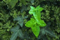 murgrönafjäder Royaltyfria Foton