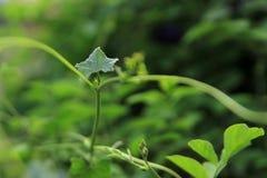 Murgrönakalebass Fotografering för Bildbyråer