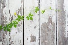 Murgrönakalebass på målat gammalt Royaltyfria Foton