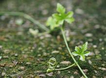 Murgrönakalebass som kryper på golvet Royaltyfria Bilder