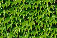 Murgrönaklättring (Hederaspiral) på en tegelstenvägg Arkivbild