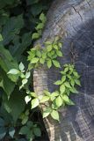 Murgrönakrans på ett snittträd Royaltyfria Foton