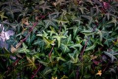 Murgrönan Arkivfoto