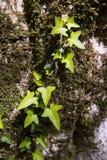 Murgrönan klättrar ett träd i skogen fotografering för bildbyråer