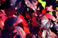 Murgrönan lämnar i höstlövverk i rött, grönt, brunt, burgundy Närbild på en suddig bakgrund royaltyfri fotografi