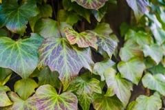 Murgrönan på ett gammalt stenar väggen fotografering för bildbyråer