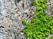 Murgrönan på träd Royaltyfria Bilder