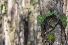 Murgrönan på trädet Arkivfoto