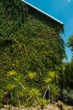 murgrönan på väggen royaltyfria foton