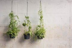 Murgrönan som är fullvuxen i plast-, lägger in att hänga på väggarna Royaltyfria Foton