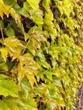 Murgrönan spricker ut beläggningtegelstenväggen royaltyfri fotografi