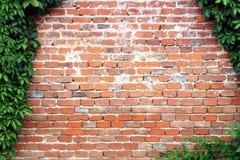 Murgrönaram på den gammala röda tegelstenväggen Arkivbild