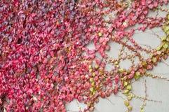 murgrönaredvägg Arkivfoto