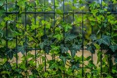 Murgrönasidor på staketet Arkivbild