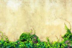 Murgrönatappning Fotografering för Bildbyråer