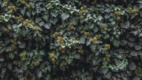 Murgrönatextur royaltyfri bild