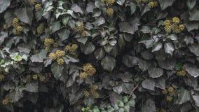 Murgrönatextur royaltyfria foton