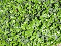 murgrönatextur Arkivfoto