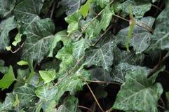 Murgrönavägg som täckas med dagg på varm och solig dag arkivfoton