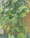 Murgrönaväxt arkivbild
