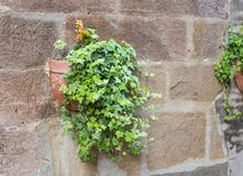 Murgrönaväxt i en lerakruka på en gammal husvägg arkivbild