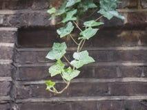 murgrönaväxt- och väggbakgrund arkivbilder