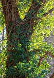 Murgrönaväxt som upp klättrar ett träd Arkivfoton