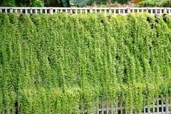 Murgrönaväxt som växer i en trädgård och hänger från en vit vägg med grön naturbakgrund arkivfoton