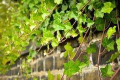 Murgrönavine på väggen Arkivfoto