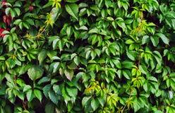 murgröna Arkivbilder