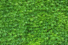 murgrönavägg Royaltyfri Bild