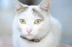 Muric白色猫 库存图片