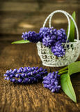 Murine hyacinth in basket Royalty Free Stock Photography