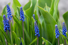 Murine Hyacinth Buds Stock Images