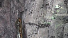 Murinus verde del Eunectes de la anaconda metrajes