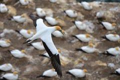 Muriwai海岸的狂放的gannet殖民地在新西兰 库存图片