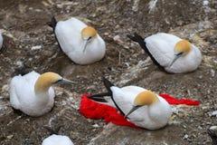 Muriwai海岸的狂放的gannet殖民地在新西兰 库存照片