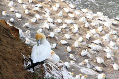 Muriwai Beach Gannet Colony 1 Stock Images