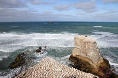 Muriwai Beach Gannet Colony 2. Otakamiro Point Gannet colony at Muriwai Beach, Auckland, New Zealand Stock Images