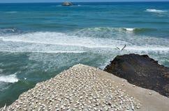 Muriwai gannet殖民地-新西兰 免版税库存照片