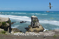 Muriwai gannet殖民地-新西兰 库存图片